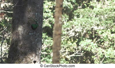 Male Quetzal gets out of the nest in 4k - Closeup view of...