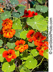 Blossoms and leaves of Watercress or Nasturium. - Blossoms...