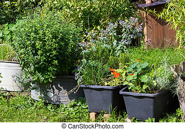 Aromatic kitchen herbs planted in containers. - Aromatic...