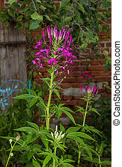 Blossom of a spider flower in a cottage garden. - Blossom of...