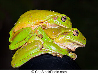 Green tree frogs (Litoria caerulea) mating - Side view of...