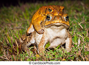 Two cane toads (Bufo marinus) mating in the grass