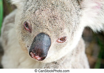Closeup portraits of a koala