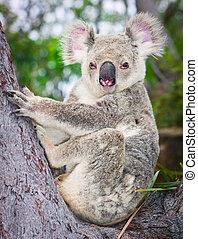 retrato, salvaje, Koala, Sentado, árbol