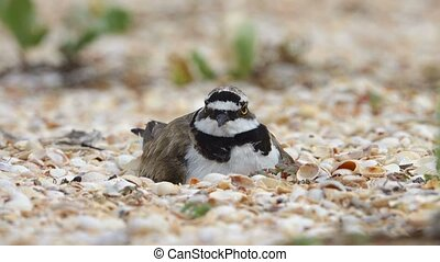 Little Ringed Plover (Charadrius dubius) a nest on the...