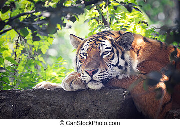 Siberian tiger resting in the undergrowth - Siberian or Amur...