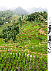 Sapa Rice Paddy