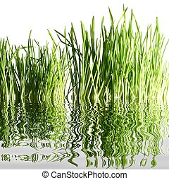 water grass - isolated green grass on white  water reflect