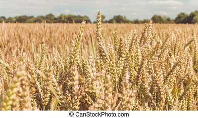 Dry golden wheat spikes in a field on sunny day, close up....