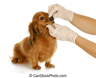 veterinary care - dachshund getting teeth checked by...