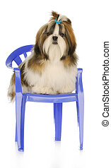 cute puppy sitting on chair - adorable shih tzu puppy...