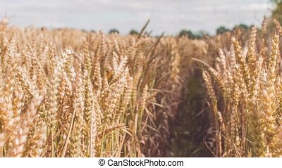 Fileld of dry golden wheat spikes in playing sun light and...