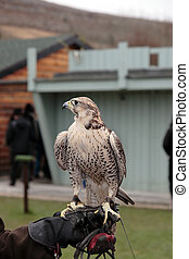 falcon perched on trainers gloved hand
