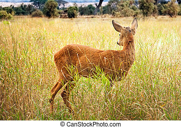 Young wild deer standing in the green grass