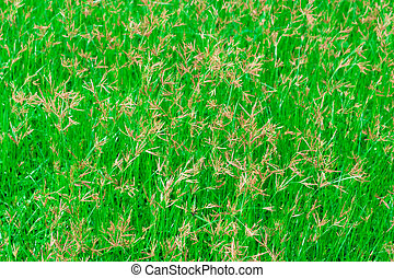 Background of green grass field with sunflare view