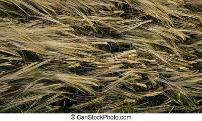 Overhead Shot Of Corn Waving In Breeze - View from above a...