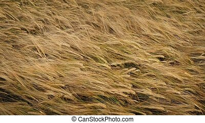 Waves Of Golden Corn In Breeze - Sea of corn swaying in the...
