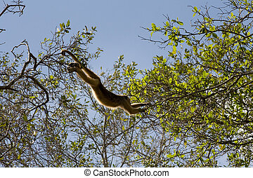 Howler monkey in pantanal, Brazil - Howler monkey swinging...