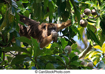 Howler monkey in pantanal, Brazil - Howler monkey looking at...