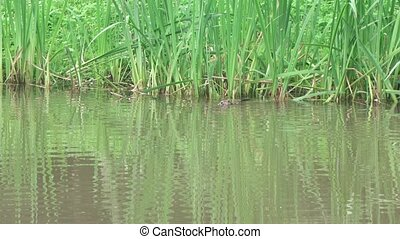 River muskrat in the pond - In the park pond floats river...