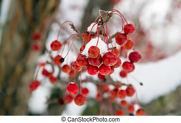 Snowy Crab Apples - Snow covers vivid red crab apples and...