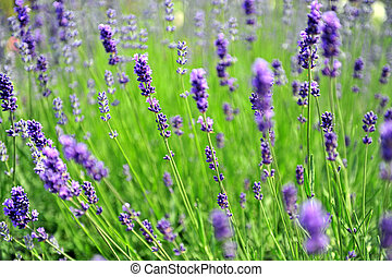 Lavender in the field on windy day - Lavender in the field...