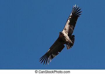 Condor flying through canyon - Flying Condor in the Colca...