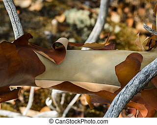 Peeling Arbutus Bark - A branch of an Arbutus tree peeling...