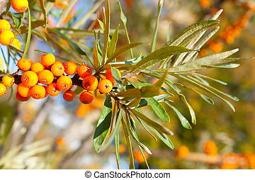 Sea-buckthorn berries branch - Branch of mature orange...