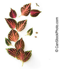 Tropical Coleus Plant Isolated on white background