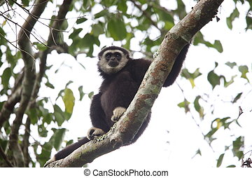 Lar gibbon or white-handed gibbon (Hylobates lar) in Khao...