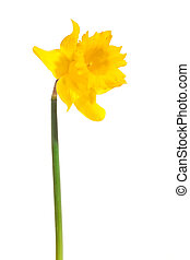 yellow daffodil, photo on the white background