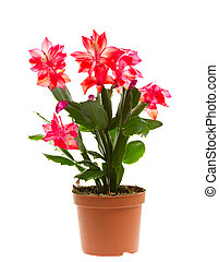 schlumbergera, isolated