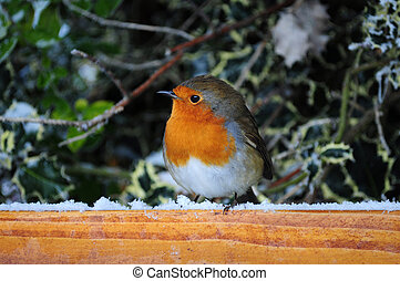Winter Robin - Robin The UKs favourite bird - with its...