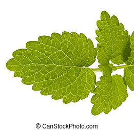 lemon balm leaves, melissa, isolated