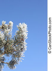 frosted pine and blue sky - frosted scots pine shoots under...