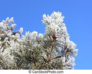 frosted pine background - scots pine branches covered in...