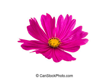 Pink cosmea flower on a white background