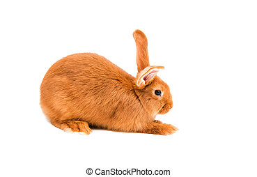 red rabbit on a white background