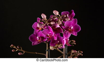 purple orchid flowers blooming on black background -...