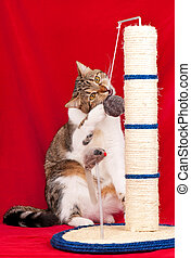 Curious adult cat - Adult cat playing with scratching post...