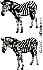 zebra vector illustration - Vector illustration of an zebra...