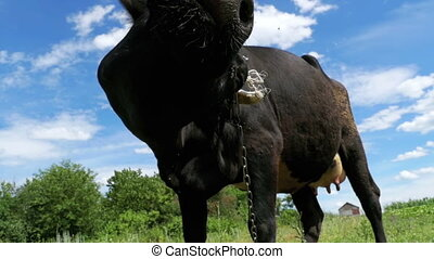 Beautiful Black Cow Grazing on Meadow and Smelling the...