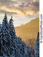snowy spruce forest at gorgeous sunset. beautiful nature...