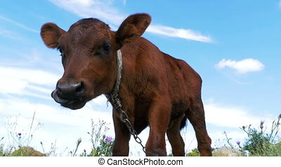 The Gray Calf Cow Graze on a Meadow on Sky Background. Slow...