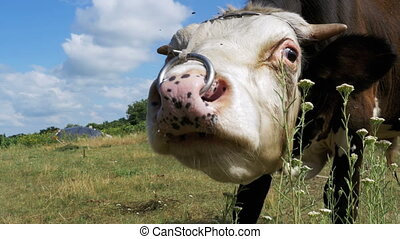 Beautiful Gray and White Bull Grazing on Meadow on Sky...