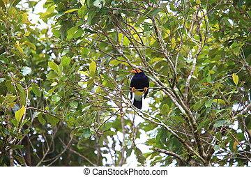 Long-tailed myna (Mino kreffti) in Solomon Island