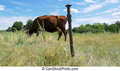 Gray cow tied on a chain grazing in a meadow. Beautiful gray...