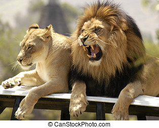 Lion and Lioness - adolecent africa african animal cat...