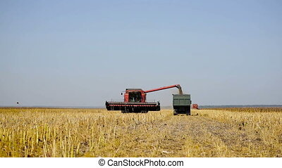 Combine working on a sunflower field. Combine harvester in...